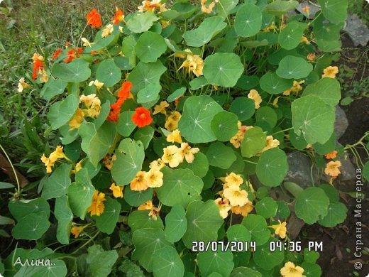 Добрый день Страна Мастеров! Хочу показать Вам свой зеленый уголок, где я выращиваю свои цветы... Это карликовая георгина... фото 20
