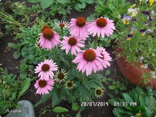 Добрый день Страна Мастеров! Хочу показать Вам свой зеленый уголок, где я выращиваю свои цветы... Это карликовая георгина... фото 21