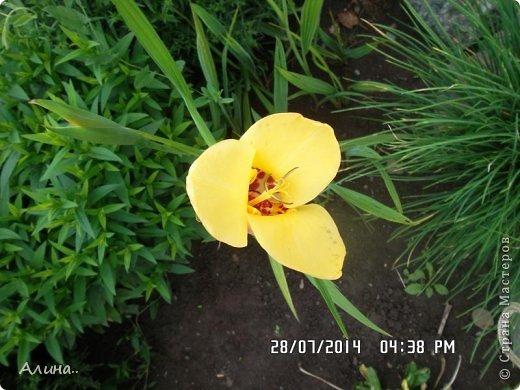 Добрый день Страна Мастеров! Хочу показать Вам свой зеленый уголок, где я выращиваю свои цветы... Это карликовая георгина... фото 22