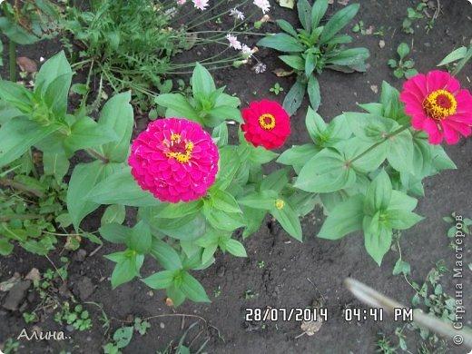 Добрый день Страна Мастеров! Хочу показать Вам свой зеленый уголок, где я выращиваю свои цветы... Это карликовая георгина... фото 24