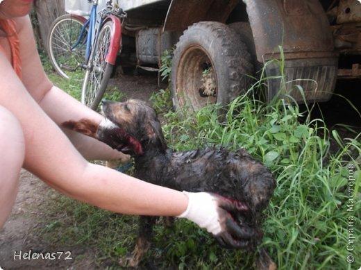 """22 августа, выходя из дома на работу, я вдруг увидела маленькую собачку, с ног до головы покрытую мазутом.  Я спросила у знакомой девочки из соседнего дома, чей это щенок, она мне ответила, что ничей и бегает возле их дома уже 2 дня. Сердце моё  дрогнуло, я побежала за сосиской, собачка её съела, не жуя, и я рванула на работу (опаздывала уже).  Пока я была на работе, бедное животное не выходило у меня из головы. Работаю я неполный день, поэтому в 2 часа дня я уже вернулась и увидела выбегающего из-под нашей """"Газели"""" щенка. Честно скажу, я обрадовалась. Переоделась, взяла ножницы и вышла, чтобы щенка постричь. Идея была не очень удачной, мазут пропитал шерсть до кожи, поэтому я отказалась от этого способа.  фото 3"""