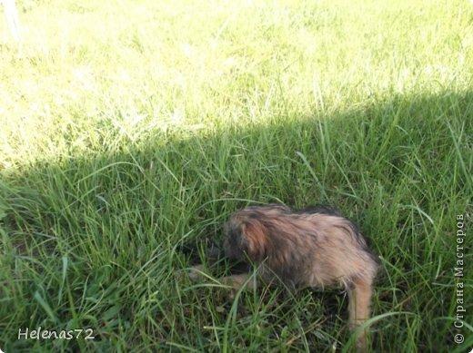 """22 августа, выходя из дома на работу, я вдруг увидела маленькую собачку, с ног до головы покрытую мазутом.  Я спросила у знакомой девочки из соседнего дома, чей это щенок, она мне ответила, что ничей и бегает возле их дома уже 2 дня. Сердце моё  дрогнуло, я побежала за сосиской, собачка её съела, не жуя, и я рванула на работу (опаздывала уже).  Пока я была на работе, бедное животное не выходило у меня из головы. Работаю я неполный день, поэтому в 2 часа дня я уже вернулась и увидела выбегающего из-под нашей """"Газели"""" щенка. Честно скажу, я обрадовалась. Переоделась, взяла ножницы и вышла, чтобы щенка постричь. Идея была не очень удачной, мазут пропитал шерсть до кожи, поэтому я отказалась от этого способа.  фото 9"""