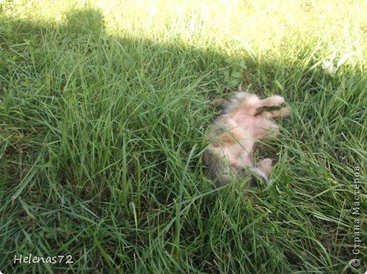 """22 августа, выходя из дома на работу, я вдруг увидела маленькую собачку, с ног до головы покрытую мазутом.  Я спросила у знакомой девочки из соседнего дома, чей это щенок, она мне ответила, что ничей и бегает возле их дома уже 2 дня. Сердце моё  дрогнуло, я побежала за сосиской, собачка её съела, не жуя, и я рванула на работу (опаздывала уже).  Пока я была на работе, бедное животное не выходило у меня из головы. Работаю я неполный день, поэтому в 2 часа дня я уже вернулась и увидела выбегающего из-под нашей """"Газели"""" щенка. Честно скажу, я обрадовалась. Переоделась, взяла ножницы и вышла, чтобы щенка постричь. Идея была не очень удачной, мазут пропитал шерсть до кожи, поэтому я отказалась от этого способа.  фото 11"""