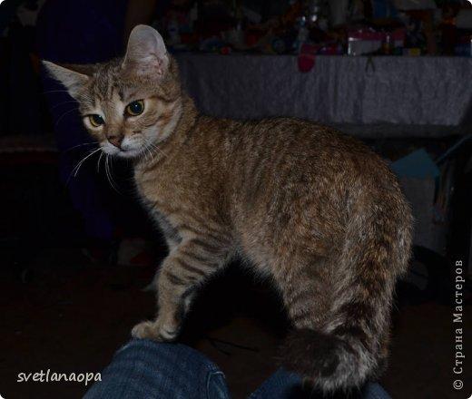 Вот моя маленькая кусявка-царапка Мася, её где-то месяца два.Это первая такая кошка , которая не даёт себя погладить, сразу начинает кусаться-царапаться. фото 12