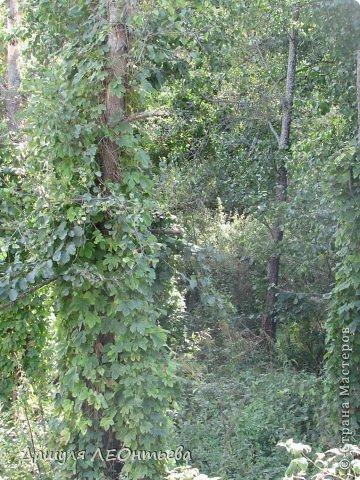 Всем доброго времени суток. Я начинаю свой фоторепортаж. И первая фотография - петух, который бродил в кустах. фото 6