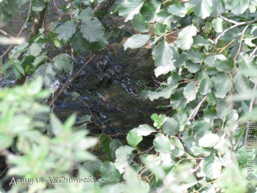 Всем доброго времени суток. Я начинаю свой фоторепортаж. И первая фотография - петух, который бродил в кустах. фото 11