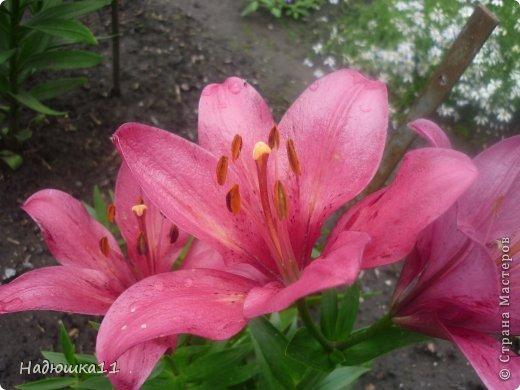 Этим летом наслаждаться садом моих родителей довелось мне частично, зато мои дети налюбовались им вдоволь фото 14
