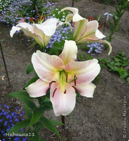 Этим летом наслаждаться садом моих родителей довелось мне частично, зато мои дети налюбовались им вдоволь фото 18