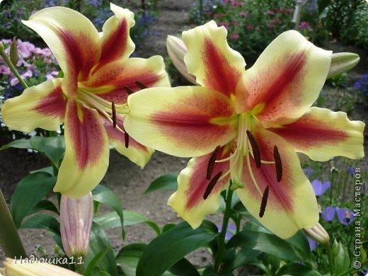 Этим летом наслаждаться садом моих родителей довелось мне частично, зато мои дети налюбовались им вдоволь фото 23
