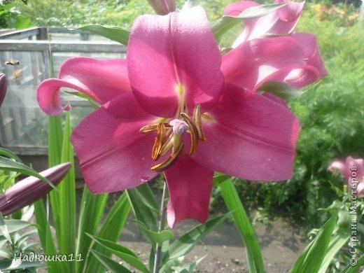 Этим летом наслаждаться садом моих родителей довелось мне частично, зато мои дети налюбовались им вдоволь фото 12