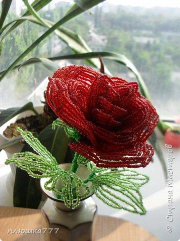роза красная фото 1