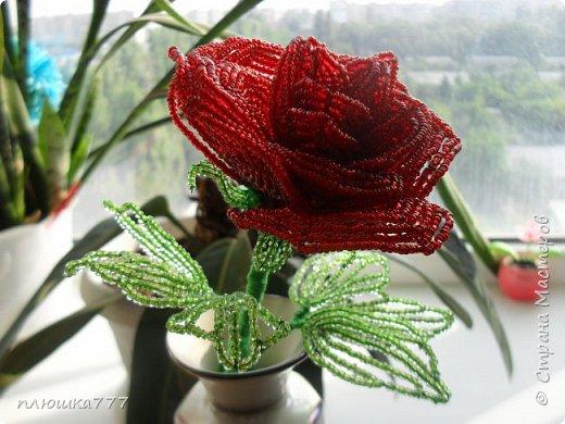 роза красная фото 2