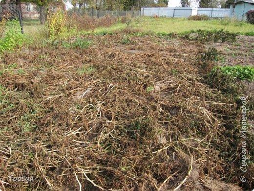 Привет всем, кто вместе со мной ждал результатов эксперимента по выращиванию картошки под сеном!!! Ура, все получилось!!!! Вот начало истории https://stranamasterov.ru/node/759938. А теперь хвалюсь результатом фото 2