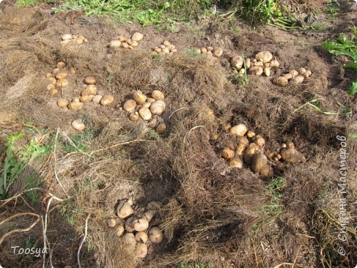 Привет всем, кто вместе со мной ждал результатов эксперимента по выращиванию картошки под сеном!!! Ура, все получилось!!!! Вот начало истории https://stranamasterov.ru/node/759938. А теперь хвалюсь результатом фото 1