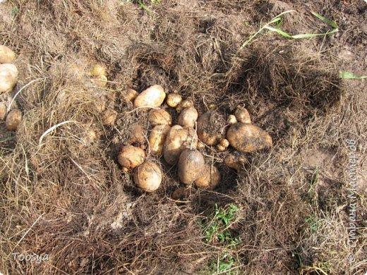 Привет всем, кто вместе со мной ждал результатов эксперимента по выращиванию картошки под сеном!!! Ура, все получилось!!!! Вот начало истории https://stranamasterov.ru/node/759938. А теперь хвалюсь результатом фото 3