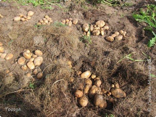Привет всем, кто вместе со мной ждал результатов эксперимента по выращиванию картошки под сеном!!! Ура, все получилось!!!! Вот начало истории https://stranamasterov.ru/node/759938. А теперь хвалюсь результатом фото 4