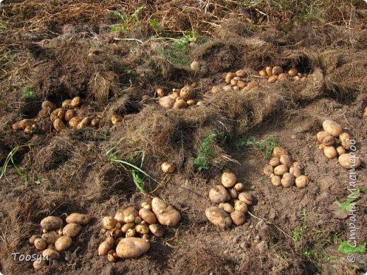 Привет всем, кто вместе со мной ждал результатов эксперимента по выращиванию картошки под сеном!!! Ура, все получилось!!!! Вот начало истории https://stranamasterov.ru/node/759938. А теперь хвалюсь результатом фото 5