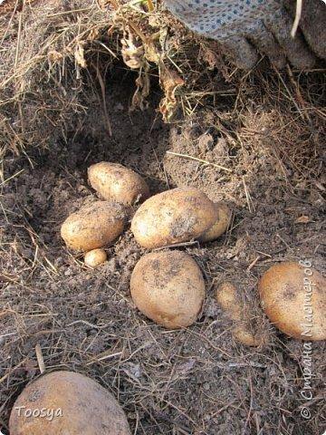 Привет всем, кто вместе со мной ждал результатов эксперимента по выращиванию картошки под сеном!!! Ура, все получилось!!!! Вот начало истории https://stranamasterov.ru/node/759938. А теперь хвалюсь результатом фото 7
