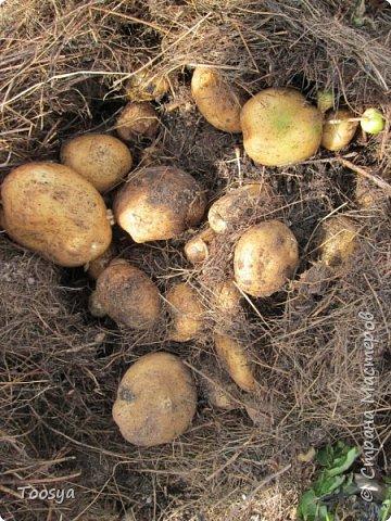 Привет всем, кто вместе со мной ждал результатов эксперимента по выращиванию картошки под сеном!!! Ура, все получилось!!!! Вот начало истории https://stranamasterov.ru/node/759938. А теперь хвалюсь результатом фото 8