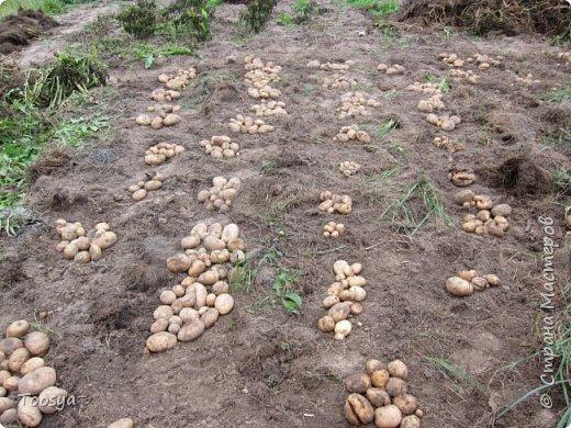 Привет всем, кто вместе со мной ждал результатов эксперимента по выращиванию картошки под сеном!!! Ура, все получилось!!!! Вот начало истории https://stranamasterov.ru/node/759938. А теперь хвалюсь результатом фото 9