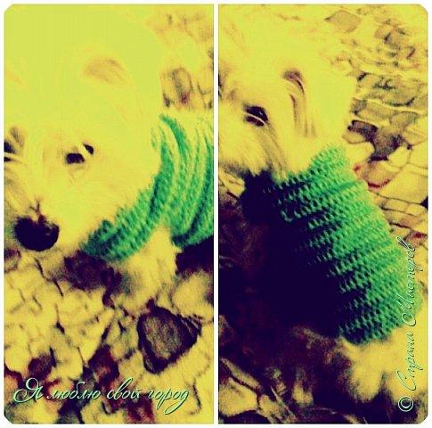 У меня есть собака(балонка) Партос.Последние время у нас очень холодно и Партосу очень холодно.Я связала ему голубой свитр.
