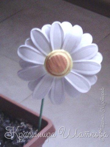 Маргарита-ромашка фото 3