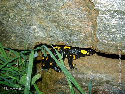 Огненная саламандра  фото 1