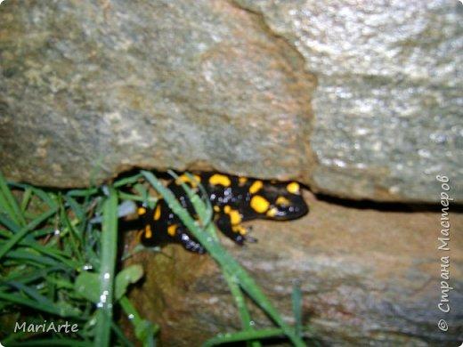 Огненная саламандра  фото 2