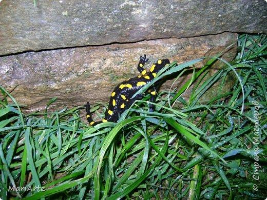 Огненная саламандра  фото 3
