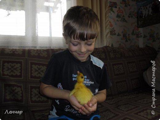 """Пару лет назад у меня появился инкубатор. С тех пор каждое лето я """"высиживаю"""" цыплят и индоуток. Очень люблю маленьких утят, они красивые и смешные. фото 17"""