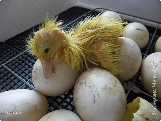 """Пару лет назад у меня появился инкубатор. С тех пор каждое лето я """"высиживаю"""" цыплят и индоуток. Очень люблю маленьких утят, они красивые и смешные. фото 7"""