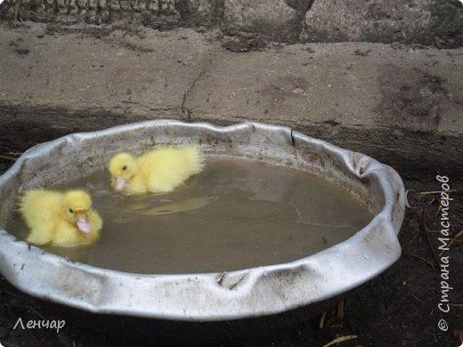 """Пару лет назад у меня появился инкубатор. С тех пор каждое лето я """"высиживаю"""" цыплят и индоуток. Очень люблю маленьких утят, они красивые и смешные. фото 9"""