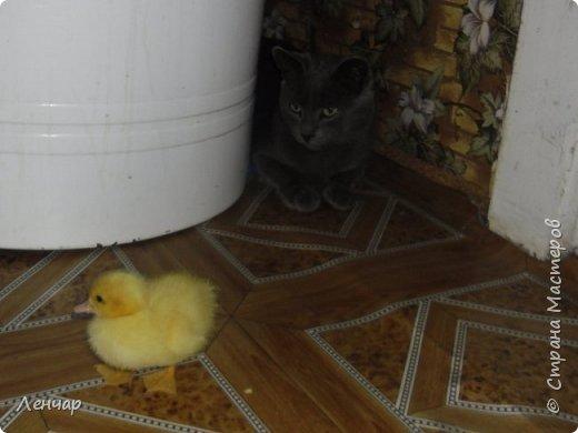 """Пару лет назад у меня появился инкубатор. С тех пор каждое лето я """"высиживаю"""" цыплят и индоуток. Очень люблю маленьких утят, они красивые и смешные. фото 12"""
