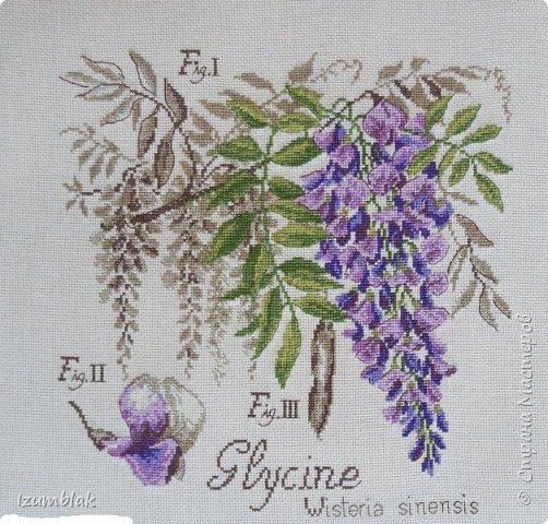 """""""Глициния""""-третья  моя работа из ботанической серии от  Véronique Enginger и первая из цветочной серии. 13 цветов, нитки ДМС, канва - немецкая  Zwaigart  18 кремового цвета."""