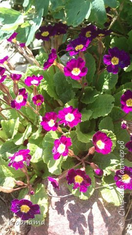 """Доброго времени суток, дорогие мастера ! Сегодня я в хорошем весеннем настроении и делиться буду цветочками, мною нежно любимыми! Брошь-заколка """"АСТРА"""" фото 19"""
