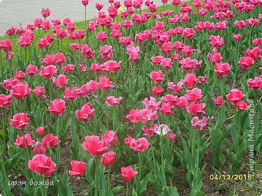 В этом году в нашем городе (г.Волгоград) в центре высадили разные сортовые тюльпаны. Т.к. работаю в центре в обед решила сделать маленькую экскурсию и сфотографировать красоту цветов. Причем народу каждый день фоткалось много. И ветераны и с детьми, и молодежь. фото 4