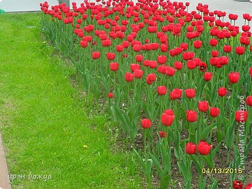 В этом году в нашем городе (г.Волгоград) в центре высадили разные сортовые тюльпаны. Т.к. работаю в центре в обед решила сделать маленькую экскурсию и сфотографировать красоту цветов. Причем народу каждый день фоткалось много. И ветераны и с детьми, и молодежь. фото 1