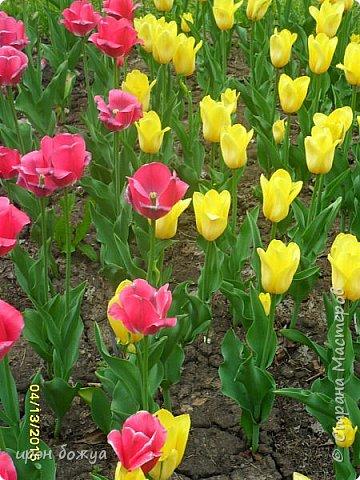 В этом году в нашем городе (г.Волгоград) в центре высадили разные сортовые тюльпаны. Т.к. работаю в центре в обед решила сделать маленькую экскурсию и сфотографировать красоту цветов. Причем народу каждый день фоткалось много. И ветераны и с детьми, и молодежь. фото 8