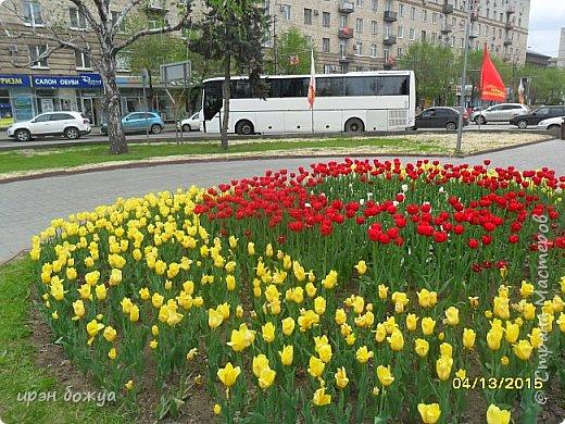 В этом году в нашем городе (г.Волгоград) в центре высадили разные сортовые тюльпаны. Т.к. работаю в центре в обед решила сделать маленькую экскурсию и сфотографировать красоту цветов. Причем народу каждый день фоткалось много. И ветераны и с детьми, и молодежь. фото 13
