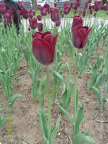 В этом году в нашем городе (г.Волгоград) в центре высадили разные сортовые тюльпаны. Т.к. работаю в центре в обед решила сделать маленькую экскурсию и сфотографировать красоту цветов. Причем народу каждый день фоткалось много. И ветераны и с детьми, и молодежь. фото 19