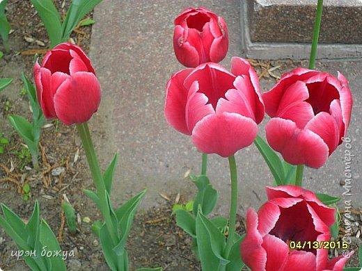 В этом году в нашем городе (г.Волгоград) в центре высадили разные сортовые тюльпаны. Т.к. работаю в центре в обед решила сделать маленькую экскурсию и сфотографировать красоту цветов. Причем народу каждый день фоткалось много. И ветераны и с детьми, и молодежь. фото 20