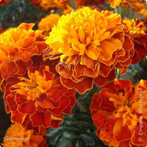 Итак. Дорогие мои. Лето уже наступило, везде и всюду цветут и пахнут очень симпатичные цветочки-солнышки. Это бархатцы (бархотки), кто как привык) И я вам предлагаю МК с пошаговым фото, по плетению этих летних цветочков. Ну, поехали) фото 2