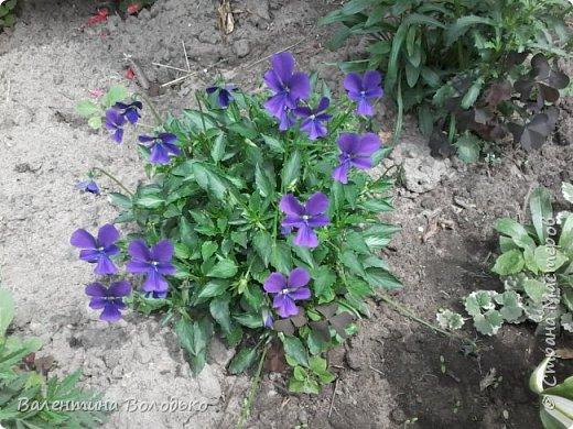 Приветствую вас дорогие жители Страны Мастеров!!!Я очень люблю цветы и выращиваю их .Хочу поделиться своими цветочками с вами. фото 2