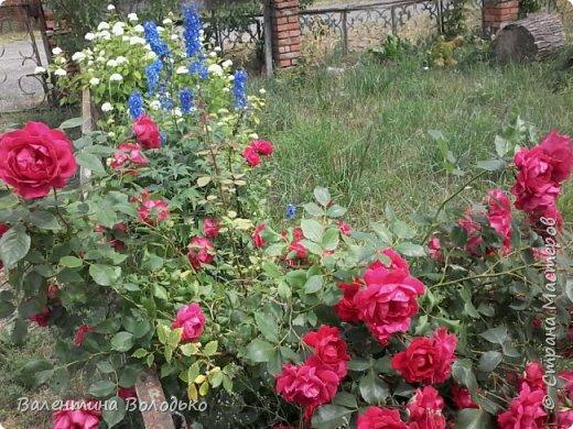 Приветствую вас дорогие жители Страны Мастеров!!!Я очень люблю цветы и выращиваю их .Хочу поделиться своими цветочками с вами. фото 1