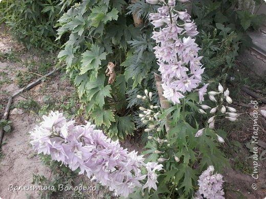 Приветствую вас дорогие жители Страны Мастеров!!!Я очень люблю цветы и выращиваю их .Хочу поделиться своими цветочками с вами. фото 3