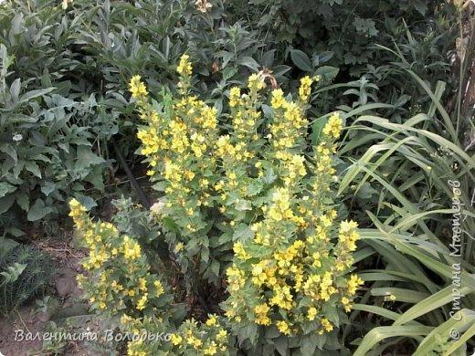 Приветствую вас дорогие жители Страны Мастеров!!!Я очень люблю цветы и выращиваю их .Хочу поделиться своими цветочками с вами. фото 6