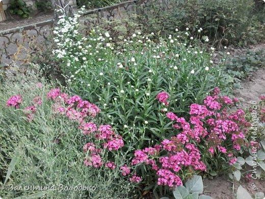 Приветствую вас дорогие жители Страны Мастеров!!!Я очень люблю цветы и выращиваю их .Хочу поделиться своими цветочками с вами. фото 7