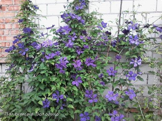 Приветствую вас дорогие жители Страны Мастеров!!!Я очень люблю цветы и выращиваю их .Хочу поделиться своими цветочками с вами. фото 8
