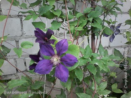 Приветствую вас дорогие жители Страны Мастеров!!!Я очень люблю цветы и выращиваю их .Хочу поделиться своими цветочками с вами. фото 9