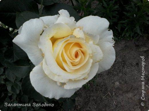 Приветствую вас дорогие жители Страны Мастеров!!!Я очень люблю цветы и выращиваю их .Хочу поделиться своими цветочками с вами. фото 12